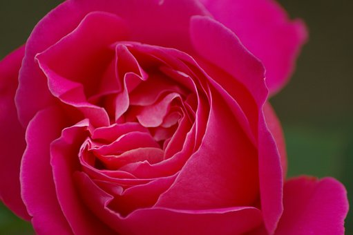 Nature, Flower, Red, Petal, Rose