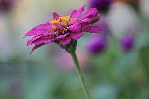 Flower, Purple, Si, Bloom, Blossom, Lavender, Summer