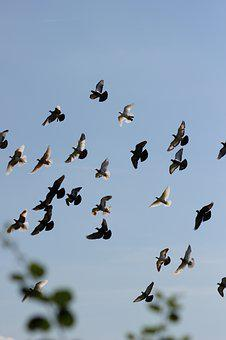 Pigeons, Homing Pigeon, Dove, Flying, Silhouette, Sky