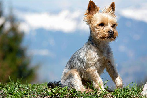 Dog, Small, Animal, Pet, Small Dog, Yorki, Out, Terrier