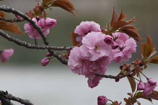 Pink, Flowers, Spring, Soft, Beoc Flowers, Wildflower