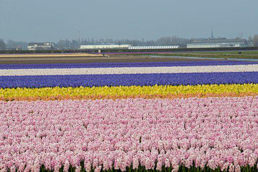 Lisse, Bulbs, Fields, Holland, Spring, Bloom