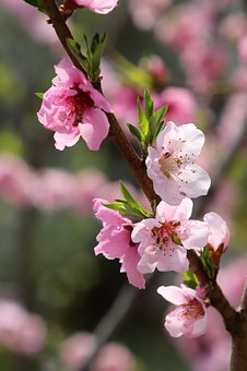 Spring, Cherry Blossom, Flowers, Pink, Nature, Wood
