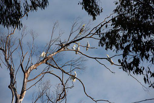 Cockatoo, Sulphur-crested Cockatoo, Parrot