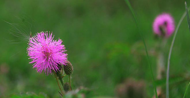 Spear Thistle, Flower, Plant, Floral, Pink, Summer