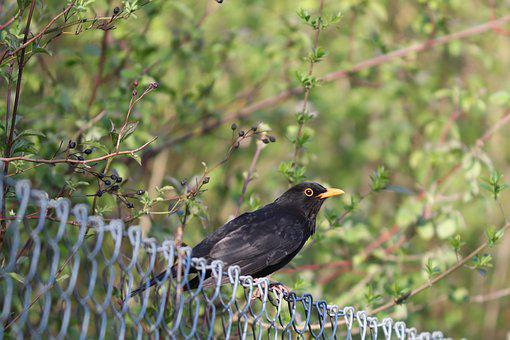 Blackbird, Songbird, Fence, Bird, Turdus Merula, True
