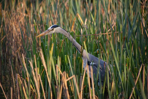 Waiting, Grey Heron, Heron, Reeds, Fishing, Wader, Bird