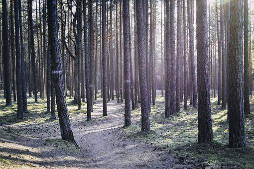Backlighting, Forest, Path, Way, Pine, Trees, Strain