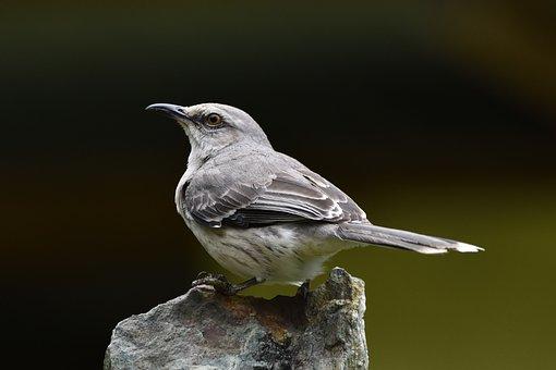 Birds, Northern Mockingbird, America, Nature, Wildlife