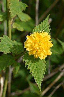 Flower, Yellow Flower, Flower Pomponette