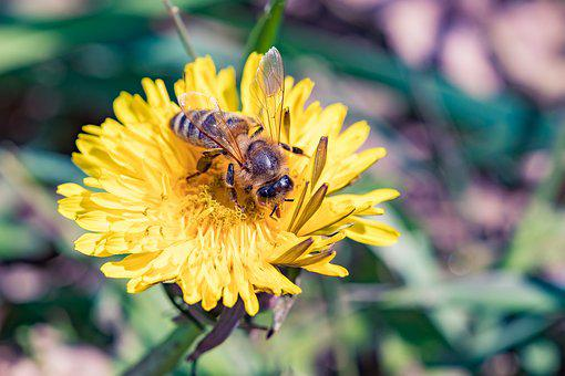 Bee, Dandelion, Spring, Yellow, Nature, Flower, Insect