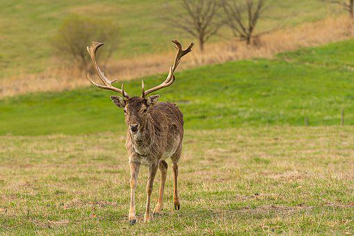 Animal, Wild Animal, Fallow Deer, Nature, Male
