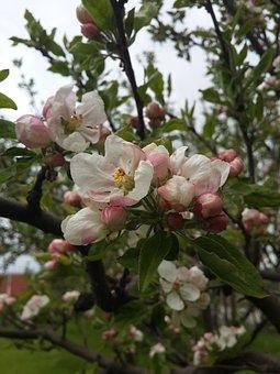 Flower, Apple Blossom, Spring, Blooming, Pink, White