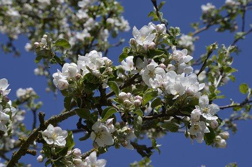 Fruit Tree, Apple Tree, Blossom, Bloom, Bloom, Nature