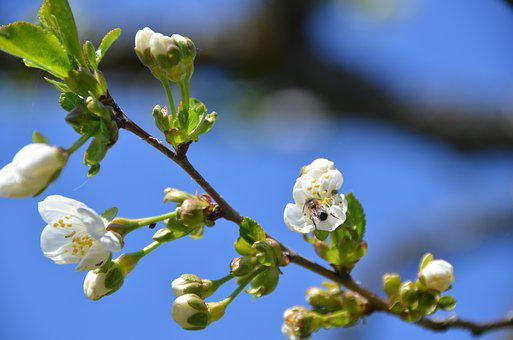 Cherry Blossom, Bee, Sky, Nature, Spring, Pollination