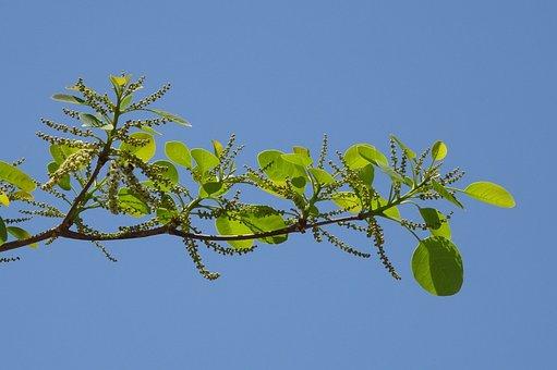 Plant, Terminalia Bellirica, Bahera, Beleric, Tree