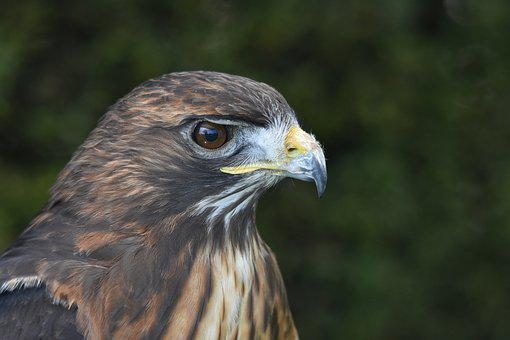 Hawk, Eagle, Falcon, Bird, Wildlife, Nature, Predator