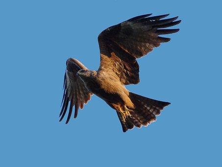 Black Milan, Bird Of Prey, Milan, Nature, Raptor