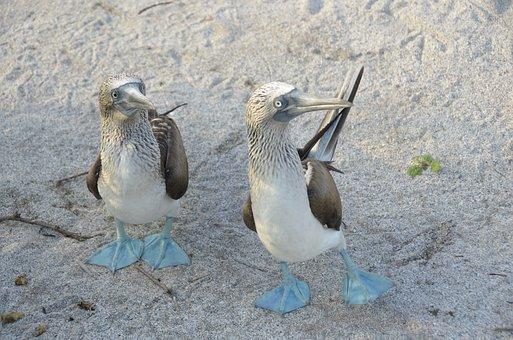 Galapagos, Bird, Blauwvoetgent, Booby, Nature, Ecuador