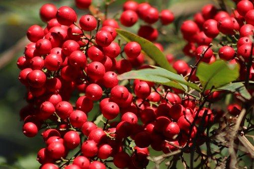 Berries, Berry Red, Sky Bamboo, Nandine, Bush, Red