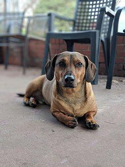 Dachshund, Dog, Canine, Rescue Dog, Puppy, Animal, Pet