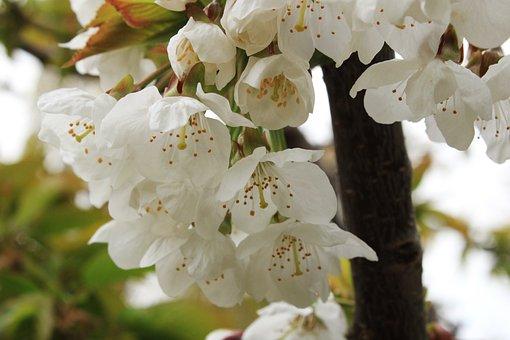 Cherry Blossoms, Spring, Cherry Blossom, Plant