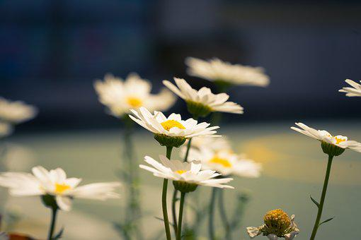 Chrysanthemum, Flower, Nature, Petal