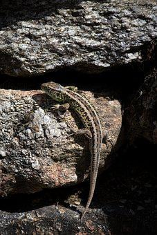Lizard, Animal, Reptile, Nature, Animal World, Close Up