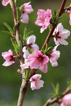 Spring, Copy Flower, Peach Blossom, Bright, Flowers