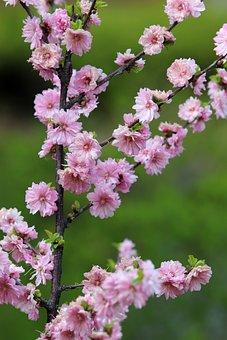 Peach Blossom, Copy Flower, Spring, Cherry Blossom