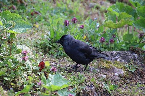 Corneille, Black, Bird, Cute, Garden, Pen, Plumage