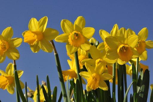 Easter, Osterglocken, Flowers, Spring Flower, Spring