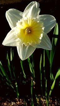 Narcissus, Flower, White, Yellow, Easter, Spring, Light