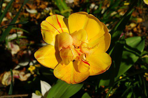 Tulip, Yellow, Spring, Flower, Blossom, Bloom, Nature