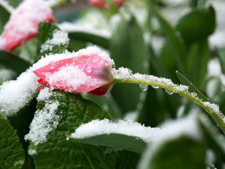 Snow, Flower, Winter, Spring, Snowdrop, White, Nature