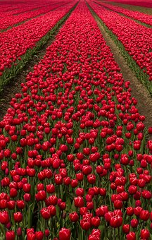 Tulip Field, Flowers, Bulbs, Tulip Fields, Spring