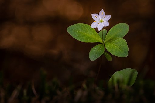 Wood Anemone, Plant, Blossom, Bloom, Forest Flower