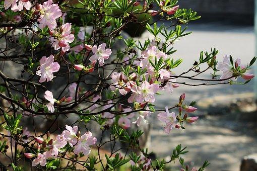 Spring, Azalea, Flowers, Nature, Plants, Garden, Petal