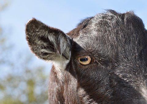 Eye Of The Goat, Ears, Long Goats, Goat Nemo