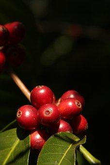 Coffee, Red, Mature, Harvest