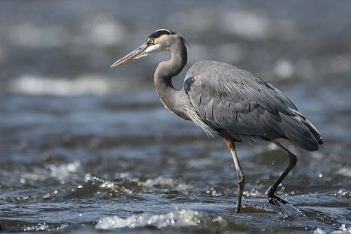 Heron, Great Heron, Bird, Wildlife, Nature, Egret