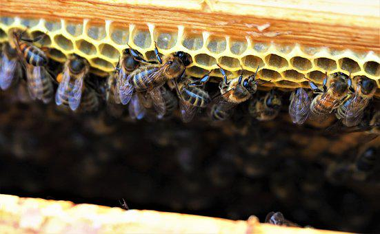 Bees, Hive, Honey, Wax, Cell, Insects, Beekeeping