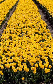 Bulb Fields, Tulips, Bulb, Netherlands, Holland, Spring