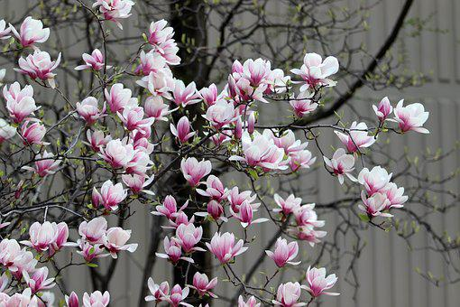 Spring, Magnolia, Flowers, Pink, Nature, Plants