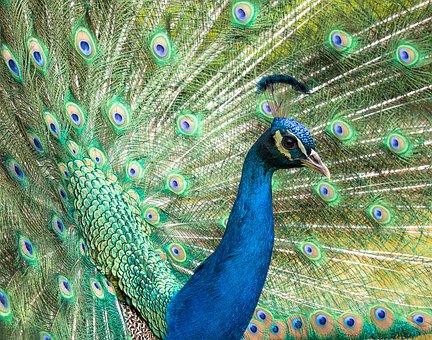 Turkey, Royal, Male, Beautiful, Colorful, Animals