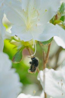 Bumblebee, Azalea, Macro, Flower, Nature