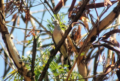 Zebra, Dove, Outdoor, Perched, Tree, Forest, Wild