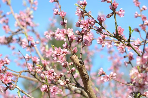 Spring, Pink, Flower, Tree, Fish, Orchard