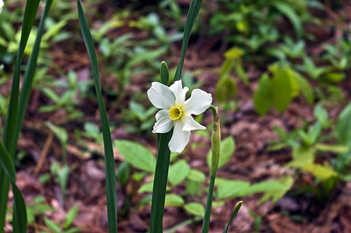 Paperwhite Daffodil, Narcissus, Garden, Bloom, Plant