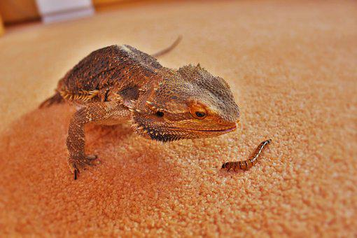 Fauna, Lizard, Reptile, Animal, Creature, Dragon, Head